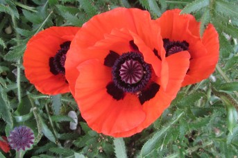 Classic poppies up close