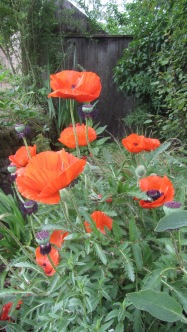 """Classic"" poppies (making up species names in leu of research)"